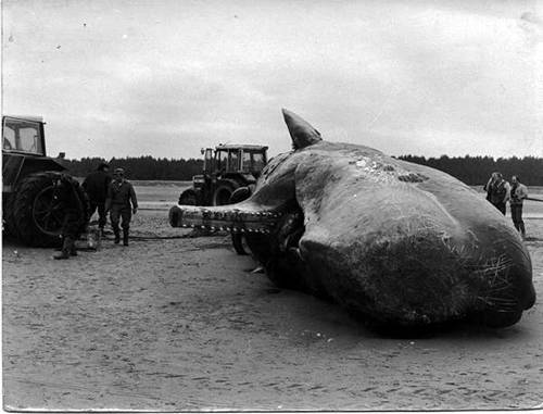 Knackerman : History : Whale on Holkham Beach in Norfolk